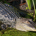 Algae Gator 2 by Arthur Dodd