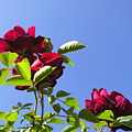 All About Roses And Blue Skies V by Daniel Henning