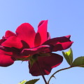 All About Roses And Blue Skies Viii by Daniel Henning