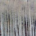 All Aspen by Carol Sweetwood