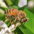 All In, Apis Mellifera by Christy Cox