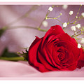 All Occasion Rose by Donna Crider