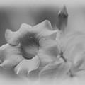 Allamanda Bloom by Michael Peychich