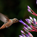 Allen's Hummingbird At Breakfast by Mike Herdering