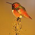 Allen's Hummingbird II by Brian Knott Photography