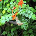 Allen's Hummingbird In Cape Honeysuckle by Lynn Bauer