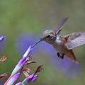 Allen's Hummingbird by Mike Herdering