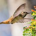 Allen's Hummingbird On Golden Currant by Morris Finkelstein