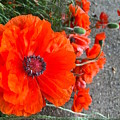 Alley Orange Red Poppies  by Wonju Hulse