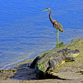 Alligator And Blue Heron by Mark Andrew Thomas