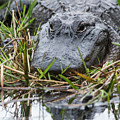 Alligator Closeup-0642 by Steve Somerville