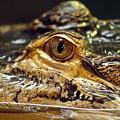 Alligator Eye Close Up-2 by Steve Somerville