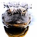 Alligator Fangs 2 by Sheri McLeroy