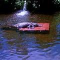 Alligator Resting by Michelle Caraballo