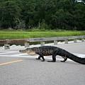Alligator Right Of Way by Cynthia Guinn