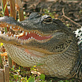 Alligator Showing Its Teeth by Max Allen