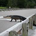 Alligator Watch by Cynthia Guinn