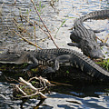 Alligators In An Everglades Swamp by Max Allen