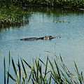 Alligators by Nereida Slesarchik Cedeno Wilcoxon