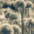 Allium 2 by Marcin Rogozinski
