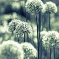 Allium 3 by Marcin Rogozinski
