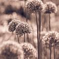 Allium 4 by Marcin Rogozinski