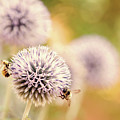 Allium And Bees by Peggy Collins