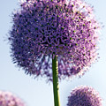 Allium Flower by Tony Cordoza