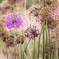 Allium Flowers by Joe Mamer