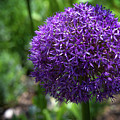 Allium Gladiator Closeup by Donna Martinez