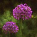 Allium by Louise Reeves