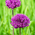 Alliums by Susie Peek