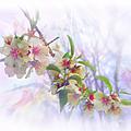 Almond Blossoms by Glenyss Bourne