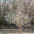 Almond Orchard 1 by Marta Robin Gaughen