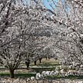 Almond Orchard by Marta Robin Gaughen