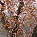 Almond Tree Flowers 05 by Don Pedro DE GRACIA