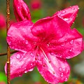 Almost April Showers Azalea by Betty Buller Whitehead