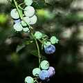 Almost Blueberries