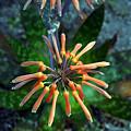 Aloe Vera by Clayton Bruster