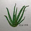 Aloe Vera by Elizabeth Hazelet