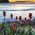 Aloe Vera In Flower At The Seaside by Merrillie Redden