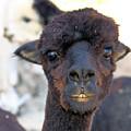 Alpaca 3 by Denise Jenks