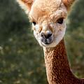 Alpaca by David Millenheft