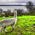 Alpaca Enjoying The View. by Josh Manwaring
