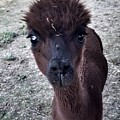 Alpaca Eyes by Vennie Kocsis