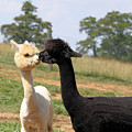 Alpaca Kiss by Denise Jenks