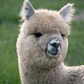 Alpaca Smile by Jennifer Craft
