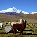 Alpacas And Guallatiri Volcano Chile by James Brunker