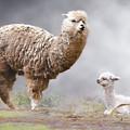 Alpacas Mum And Baby by Claude LeTien