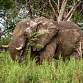 Alpha Male Elephant by Gregory Daley  MPSA